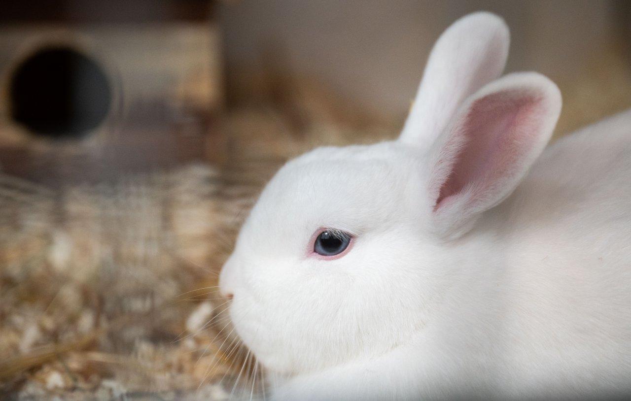 Ein weißes Kaninchen hockt in einem Käfig im Tierheim vom Verein Tierschutz Hildesheim und Umgebung e.V..